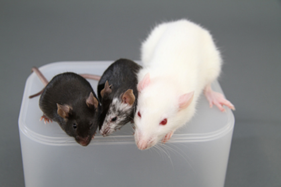 マウス ラット 違い 「ラット(rat)」と「マウス(mouse)」の違いって?