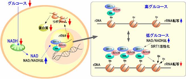 細胞内のエネルギー収支を制御する新規たんぱく質を発見