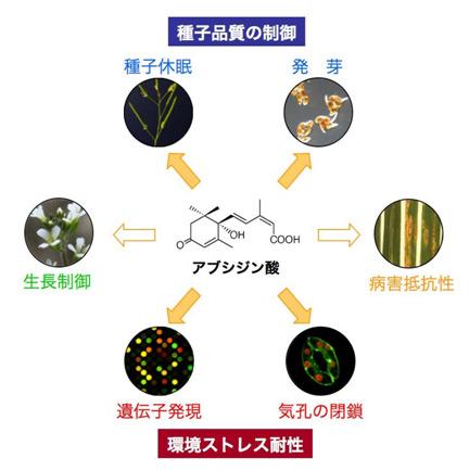 劣悪環境に応答する植物ホルモン「アブシジン酸」の応答経路を解明 ...