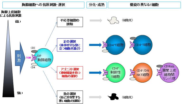 共同発表:過剰な免疫反応にブレーキをかけるT細胞が作られる共通の ...