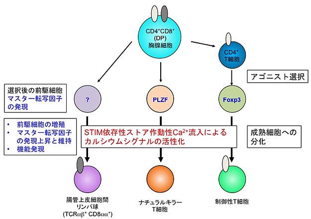 過剰な免疫反応にブレーキをかけるT細胞が作られる共通の仕組みを解明