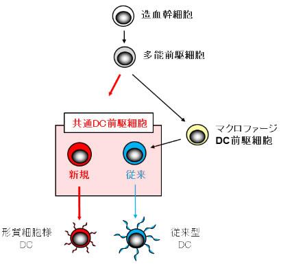 免疫の司令塔、樹状細胞の源となる細胞を発見~ワクチン開発や自己免疫病治療に新たな視点~