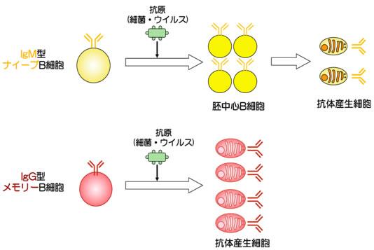 共同発表:メモリーB細胞が再感...