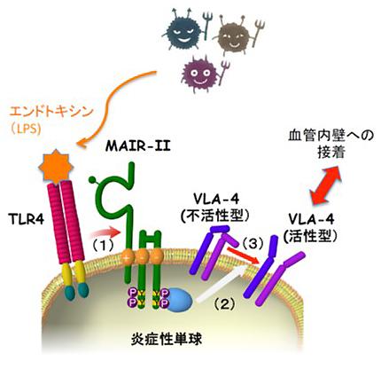 共同発表:貪食細胞が細菌感染を感知する仕組みを解明