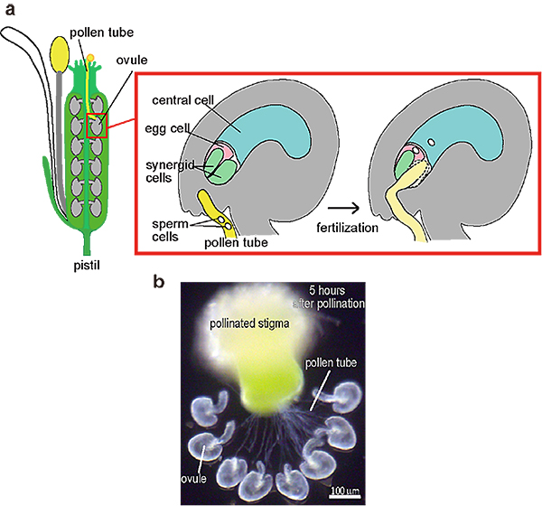 Calcium Dynamics During Fertilization Was Caught In The