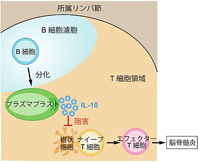 共同発表:多発性硬化症の悪化を抑える免疫細胞を同定~プラズマ ...