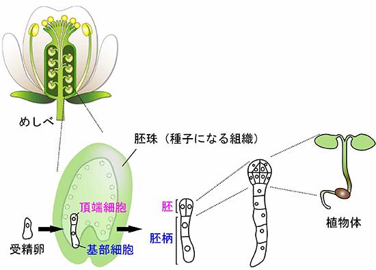 共同発表:植物の受精卵が分裂する様子を生きたまま観察することに成功 ...