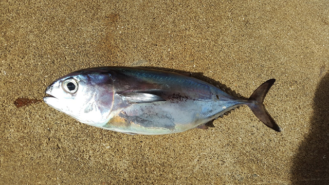 Ellowfin tuna fry successfully raised in ocean surface for How to make tuna fish with eggs