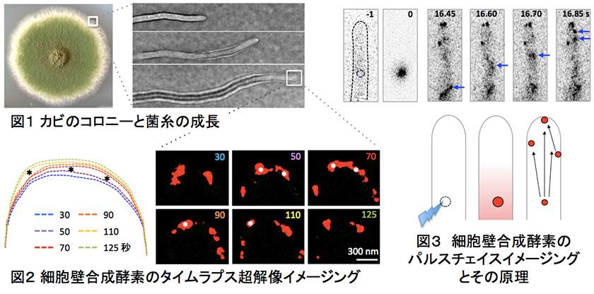 図1 カビのコロニーと禁止の成長/図2 細胞壁合成酵素のタイムラプス超解像イメージング/図3 細胞壁合成酵素のパルスチェイスイメージングとその原理