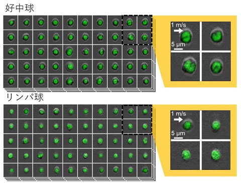 図3 2種類のマウスの白血球の画像を本技術でとらえた像