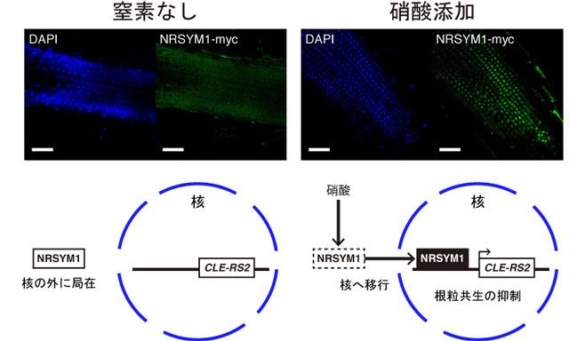図3 <em>nrsym1</em>タンパク質の細胞内局在と遺伝子発現制御モデル