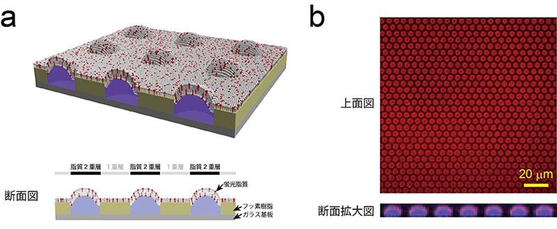 図1 超高密度人工生体膜チップ模式図および蛍光画像