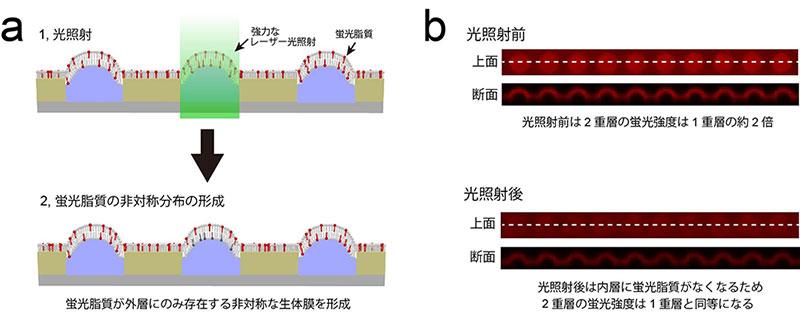 図2 光操作による脂質組成の非対称化技術