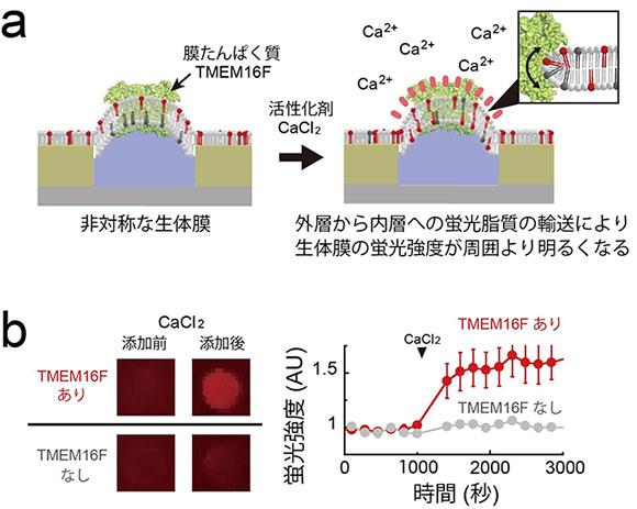 図3 膜たんぱく質による脂質輸送の1分子単位での超高感度計測例