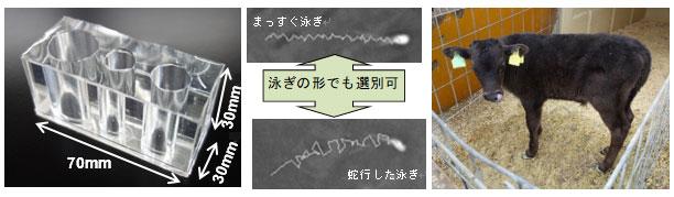 開発した運動性精子選別器具(左)、本器具で選別した運動形態の異なる精子(中央上下)、本器具で捕集した精子により人工授精注4)し、誕生した子牛第一号(右)
