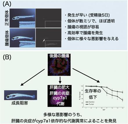 図2 新しいゼブラフィッシュ腫瘍モデルの特徴と本研究が明らかにした腫瘍-肝臓クロストーク
