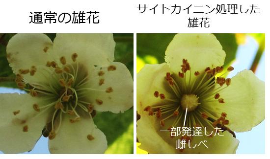 図2 人工サイトカイニンの処理による雄花から半雌花の誘導
