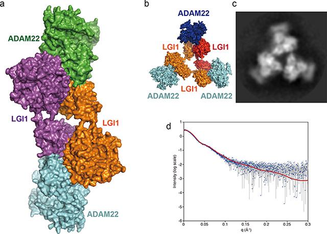 図2 LGI1–ADAM22複合体の立体構造