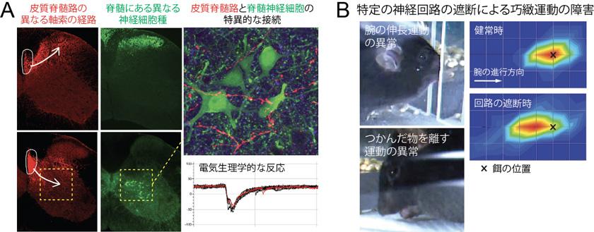 図2 皮質脊髄路の中に潜む多様な接続様式と機能