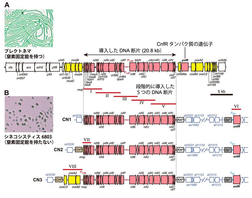 窒素固定能を持つシアノバクテリアとその窒素固定の遺伝子(A)を、窒素固定能を持たないシアノバクテリアに遺伝子を導入して作った新しい3つの株(B)