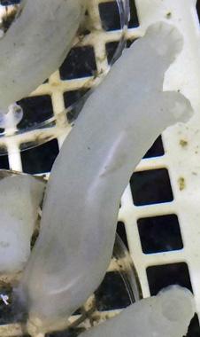 図2 カタユウレイボヤのオタマジャクシ幼生と成体