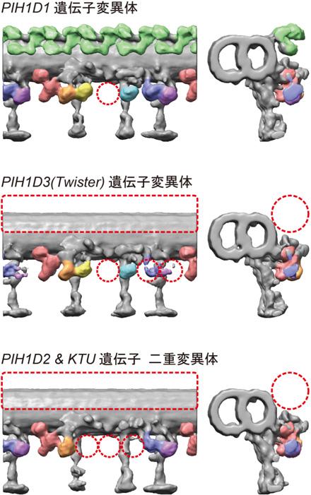 図2 各変異体における精子べん毛の3次元微細構造
