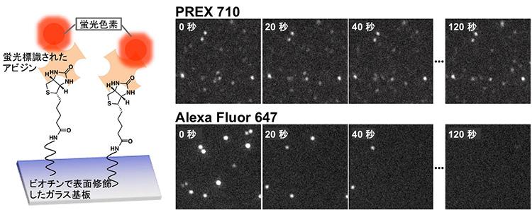 図2 1分子蛍光イメージングによる光安定性の評価