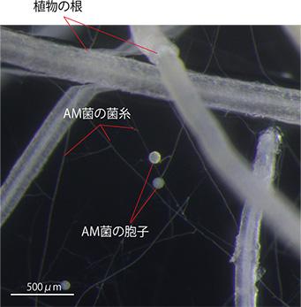 図2 アーバスキュラー菌根菌と植物根