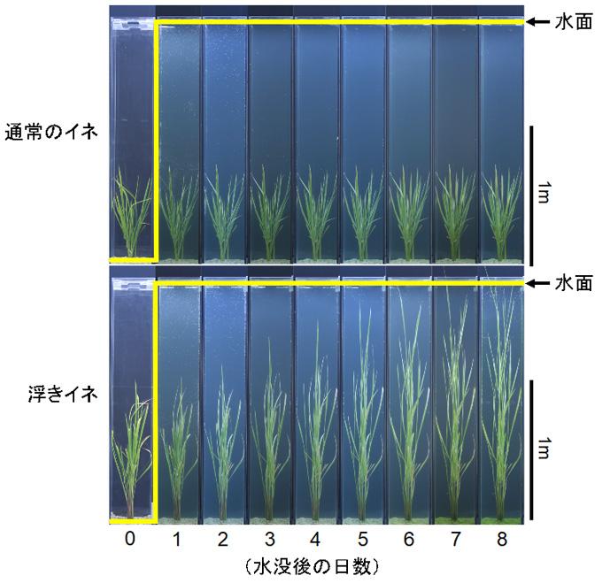 図1 水没に対する浮きイネの草丈の伸長