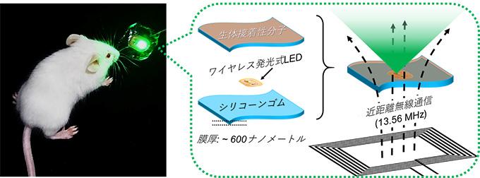 図2 本研究で開発した生体組織表面にシールのように貼り付けられる無線給電式発光デバイス