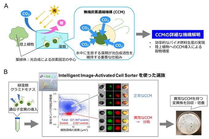 図3 緑藻類クラミドモナスを用いた本技術の微生物学への展開