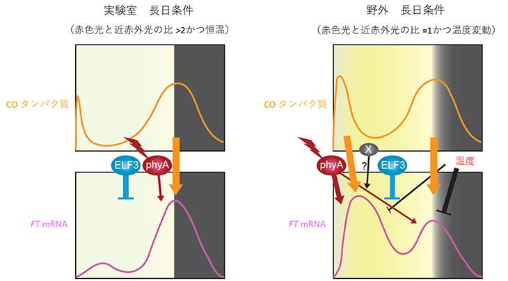 図2 FT遺伝子の制御機構