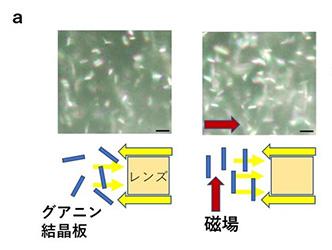 図2 (a)磁場で輝きを増した実施例