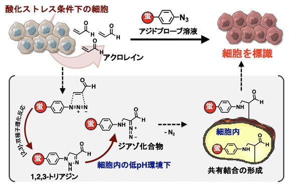図2 アジドプローブを用いたアクロレインを発生する細胞の蛍光標識