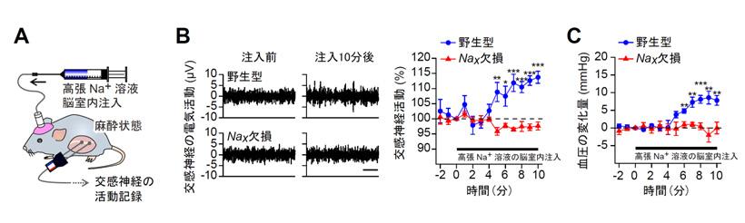 図2 Nax遺伝子欠損マウスは脳脊髄液のNa+度が上昇しても、交感神経活動の亢進や血圧上昇が起こらない