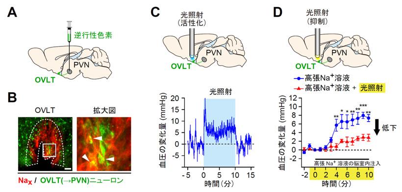 図3 Naxによる血圧上昇は、OVLT(→PVN)ニューロンの活性化を介して起こっている