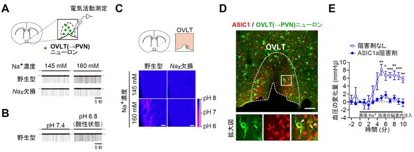 図4 Naxの活性化は、酸の放出とそれに伴うASIC1aの活性化を誘導し、 OVLT(→PVN)ニューロンの活動を亢進させることで血圧を上昇させる