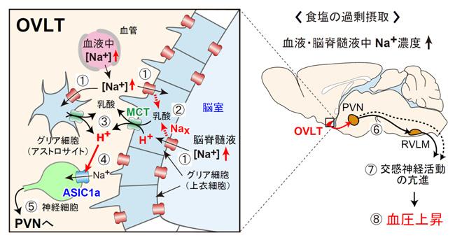図5 体液のNa+度上昇に応答した血圧上昇を担う脳内の仕組み