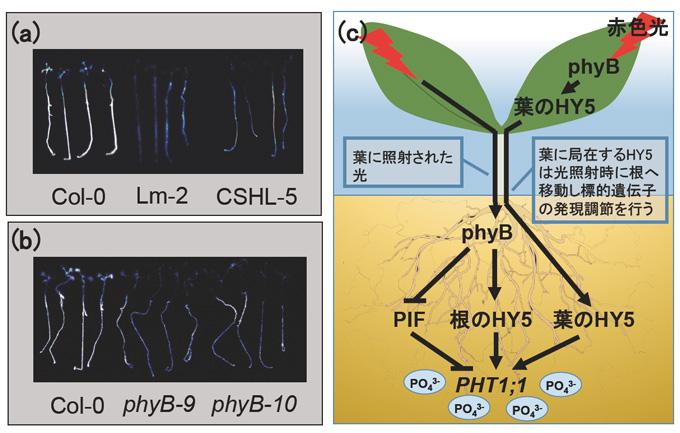 共同発表:光環境に合わせた植物...