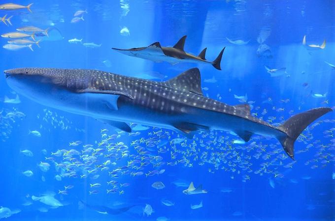 図1 沖縄美ら海水族館で飼育されているジンベエザメ