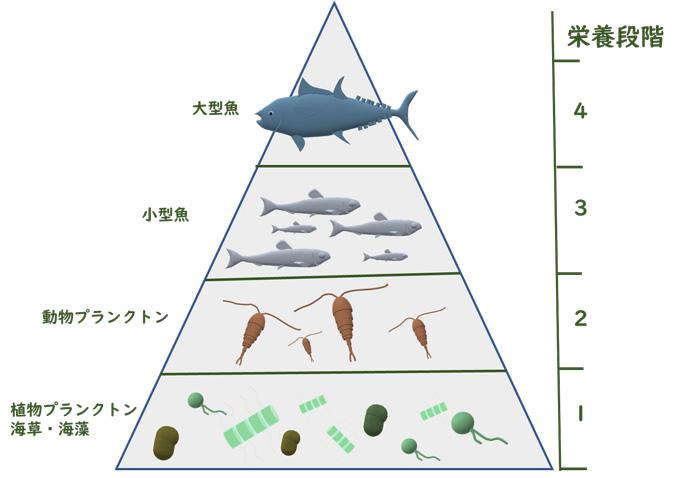 図2 海の食物連鎖と栄養段階