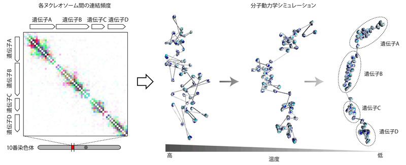 図2 分子動力学シミュレーションによる3次元構造の導出