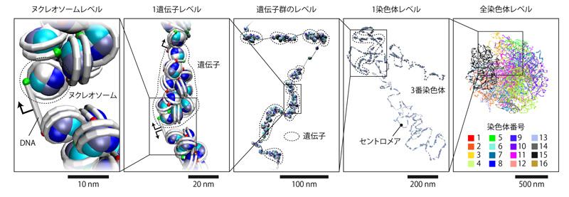 図3 導出された出芽酵母ゲノムの3次元構造