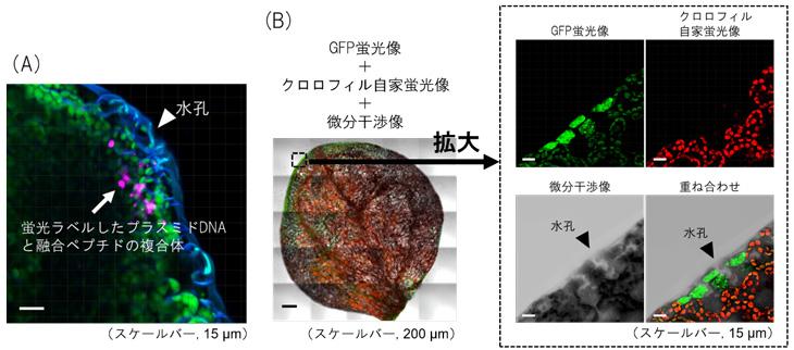 図1 ペプチド-プラスミドDNA複合体を導入したシロイヌナズナの葉の蛍光画像