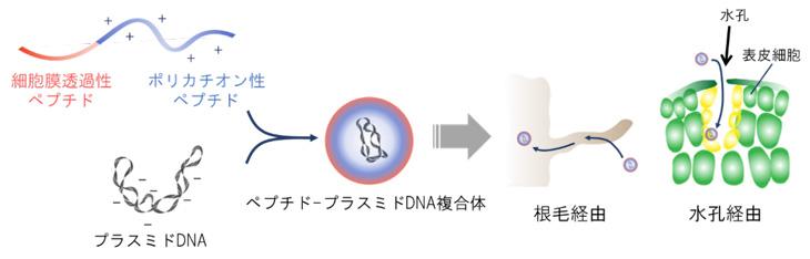 図3 ペプチド-プラスミドDNA複合体は「根毛」または「水孔」経由で取り込まれる