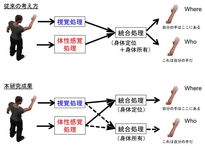 図2 「自己身体の気づき」のメカニズム(本研究成果)