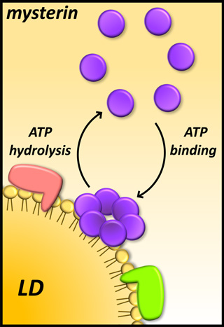 図2 データから予想されるミステリンのサイクル型脂肪滴局在