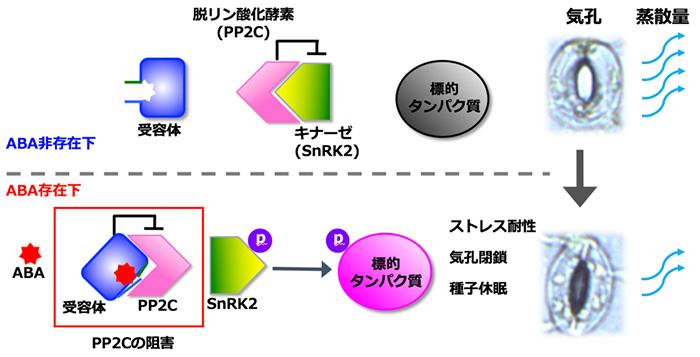 図1 ABAシグナル伝達経路