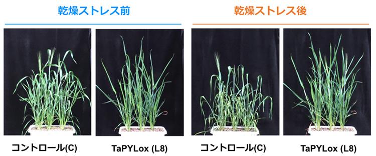 図2 TaPYLoxの耐乾性試験