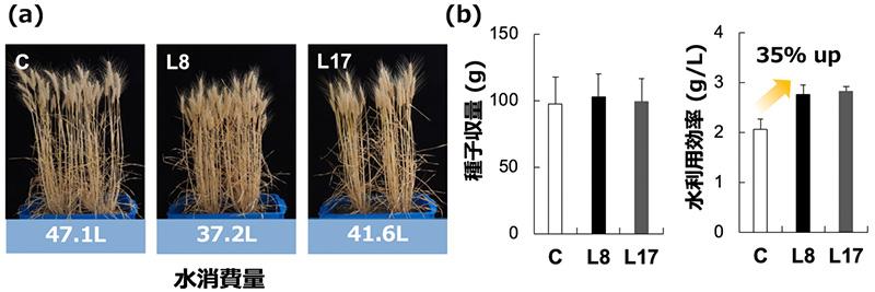 図4 種子収量における節水性